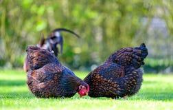 Paar volwassen Wynadotte-kippen gezien zoekend voedsel in een tuin stock fotografie