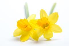 Paar vrij gele gele narcissen Royalty-vrije Stock Afbeelding