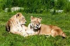 Paar Vrouwelijke Leeuwen (Panthera-Leeuw) Stock Afbeelding