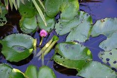 Paar waterlelies in bloei stock foto