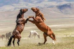 Paar Wild paardhengsten die in de Woestijn vechten stock fotografie