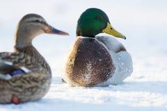Paar Wilde eendeenden in een sneeuw Stock Afbeelding