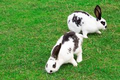 Paar witte bevlekte konijnen Royalty-vrije Stock Fotografie