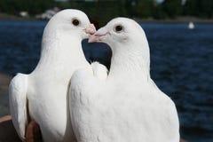 Paar witte duiven royalty-vrije stock foto's