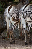 Paar zebras met achterkant of uiteinden aan camera Royalty-vrije Stock Afbeelding