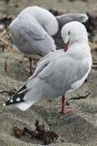 Paar zeemeeuwen die hun veren op het zandstrand gladstrijken Royalty-vrije Stock Afbeeldingen