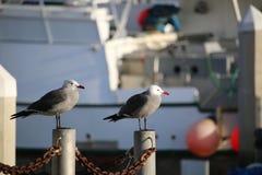 Paar zeemeeuwen onbeweeglijk Stock Afbeelding