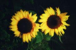 Paar Zonnebloemen op donkere Achtergrond royalty-vrije stock fotografie