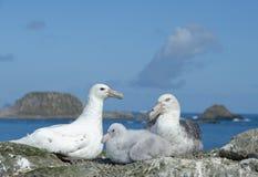 Paar zuidelijke stormvogels met kuiken Royalty-vrije Stock Foto's