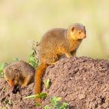 Paar-zwergartige Mungos auf Termitenhügel lizenzfreies stockfoto