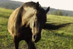 Paard 1 van het portret Stock Afbeeldingen