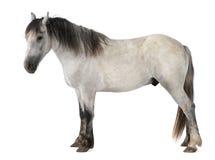 Paard, 2 jaar oud, status Royalty-vrije Stock Fotografie