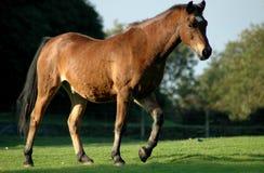 Paard 5 Royalty-vrije Stock Afbeeldingen