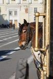 Paard aan een vervoer wordt uitgerust dat Royalty-vrije Stock Foto's