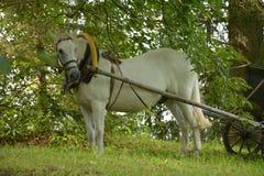 Paard aan kar wordt uitgerust die stock foto
