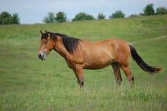 Paard aan weiland Royalty-vrije Stock Fotografie