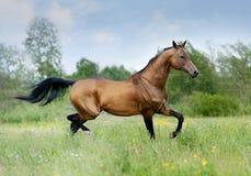 Paard Akhal -akhal-teke royalty-vrije stock fotografie