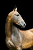 Paard Akhal -akhal-teke dat op zwarte wordt geïsoleerd Stock Afbeeldingen