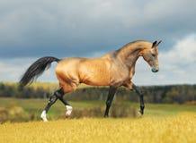Paard Akhal -akhal-teke in de herfst royalty-vrije stock foto