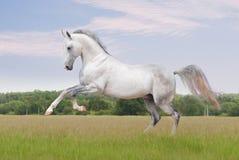 Paard Akhal -akhal-teke op wit Royalty-vrije Stock Foto