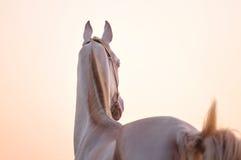 Paard Akhal -akhal-teke in zonsondergang Royalty-vrije Stock Foto's