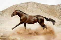 Paard Akhal die in woestijn lopen royalty-vrije stock afbeelding