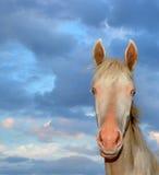 Paard akhal-Teke Royalty-vrije Stock Fotografie