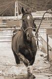 Paard in aqualeurder Royalty-vrije Stock Afbeelding