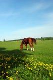 Paard bij de lenteweiland stock foto