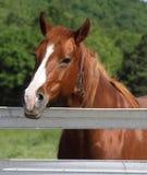 Paard bij het HoofdSchot van de Omheining royalty-vrije stock fotografie