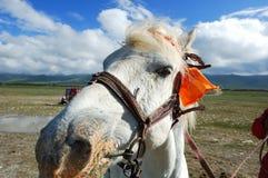 Paard bij het Meer van Tsing Hai voor Rit Royalty-vrije Stock Afbeeldingen