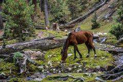 Paard bij trek aan Beyal-kamp royalty-vrije stock foto's