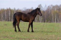 Paard (caballus Equus) Stock Foto