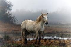 Paard Camargue stock afbeeldingen