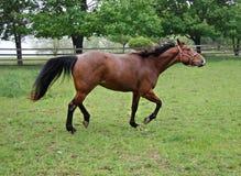 Paard dat en zijn hoofd omhoog in werking stelt werpt Royalty-vrije Stock Fotografie