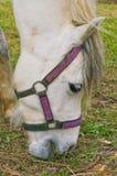 Paard dat gras eet royalty-vrije stock afbeelding