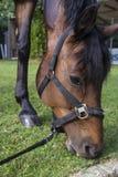 Paard dat Gras eet stock afbeeldingen