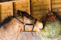 Paard dat Hooi eet royalty-vrije stock afbeeldingen