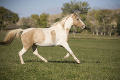 Paard dat op gebied loopt stock afbeeldingen