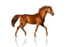 Paard dat op wit wordt geïsoleerdw Stock Foto