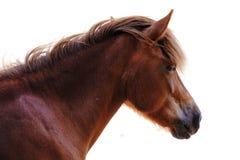 Paard dat op witte achtergrond wordt geïsoleerd royalty-vrije stock afbeelding