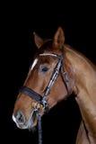 Paard dat op zwarte wordt geïsoleerdr Stock Foto