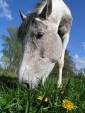 Paard dat paardebloem eet Stock Foto's