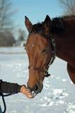Paard dat sneeuw eet Stock Afbeeldingen