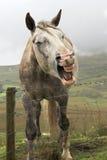 Paard dat tanden toont Stock Foto