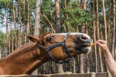 Paard dat wortel eet Stock Fotografie