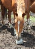 Paard dat zout likt Royalty-vrije Stock Foto's