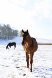 Paard in de aard Stock Afbeeldingen