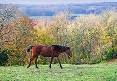 Paard in de herfstbos stock afbeelding