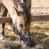Paard in de paddock die gebogen en droog gras eten Royalty-vrije Stock Fotografie